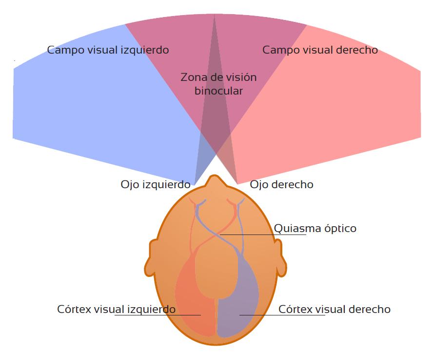 Alteraciones del campo visual | Tu Optometrista